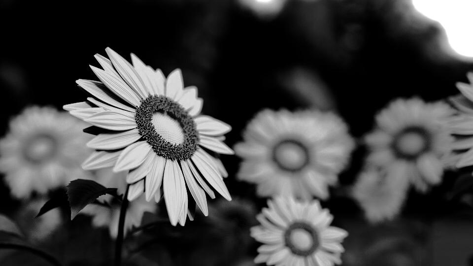 국화 sunflower-1421011_960_720_01
